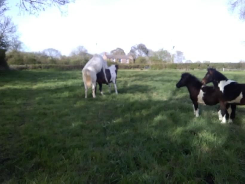 Paintedhorse equine capers