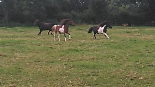 Glastonbury, Goddess, Dartmoor hillie, Equine ReWilding, Paintedhorse, EFL, EAL, EFP, Equine Therapy, Healing Herd