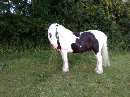Equine Cushings, PPID, Paintedhorse