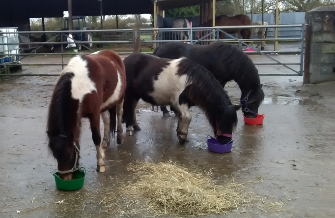 Dartmoor Hill Ponies, Paintedhorse, EFL, EFP